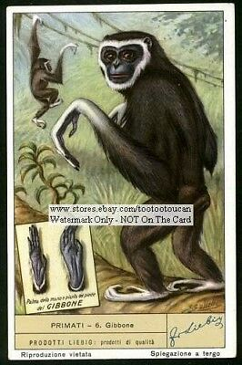Gibbon  Monkey Ape Primate  60+ Y/O Trade Ad Card