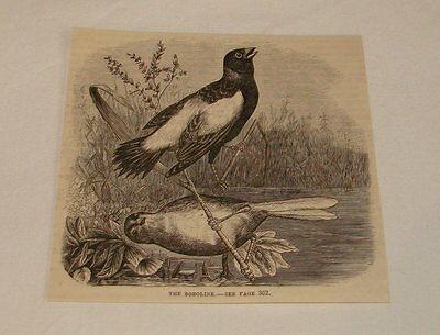 1877 magazine engraving ~ THE BOBOLINK