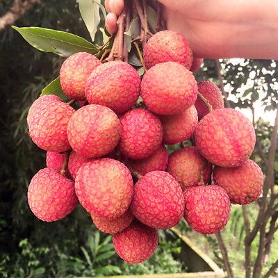 10Pcs Delicous Lychee Seeds Fruit Seed Lychee Succulent Tree Bonsai Garden Plant
