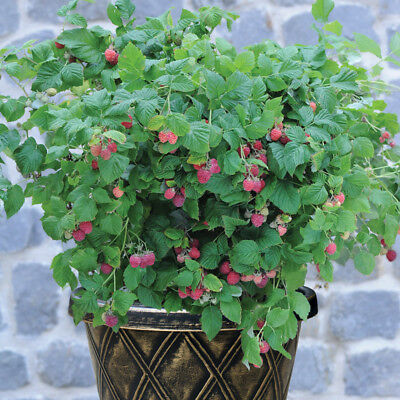 Raspberry Dwarf Bush Garden Patio Plant Ruby Beauty 9cm or 3 Litre Pot Plant T&M