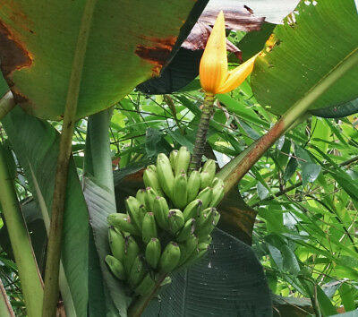 Musa aurantiaca - Golden Flowered Banana -  Seeds