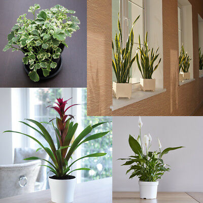 Evergreen Indoor Garden House Plants Pot Trees High Quality Large Plants T&M
