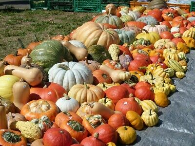 PUMPKIN 'Heirloom Mix' 20+ seeds mixed varieties vegetable garden UNUSUAL types