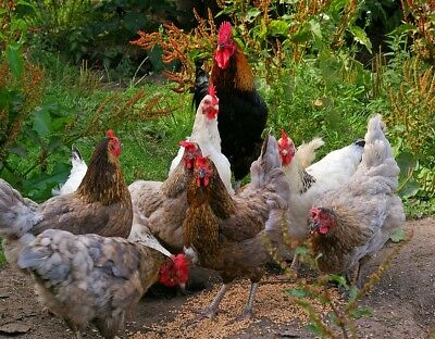 CHOOK FORAGE MIX 22+ grams / 10,000+ seeds chicken seed mix GROW YOUR OWN food