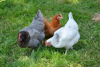 CHOOK FORAGE MIX 10,000+ seeds chicken seed mix GROW YOUR OWN poultry food grain