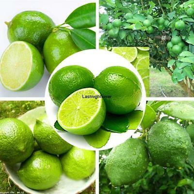 20x Rare Kaffir Lime Seeds Tree Garden Plants Lemon Bonsai Pot Perennial Seed