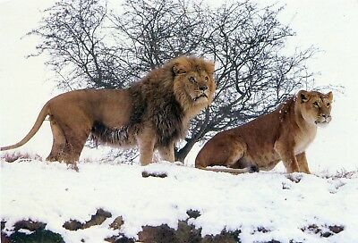Woburn Wild Animal Kingdom - Lions - Postcard View