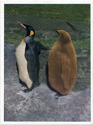 Edinburgh Zoo - King Penguins - Postcard View
