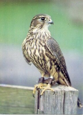 Merlin - Welsh Hawking Centre - Postcard View