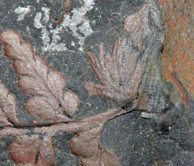 Museum quality fossil, Aphlebia, parasitic plant on beautiful Sphenopteris fern