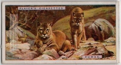 Puma Cougar Large Wild Cat Feline 1924 Ad Trade Card