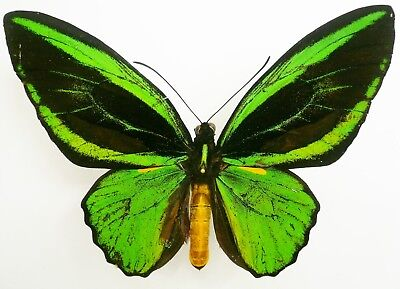 Ornithoptera Priamus Teucrus Form   Transiens From Biak Isl  A2