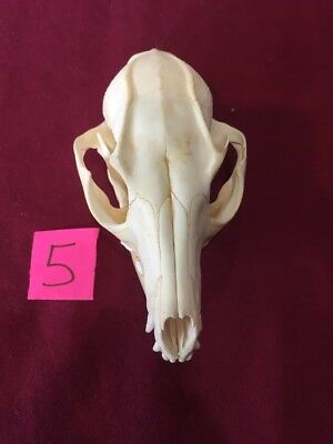 Real Grey Fox Skull Unique Animal Mount Man Cave Bone Yard Decor Art And Crafts