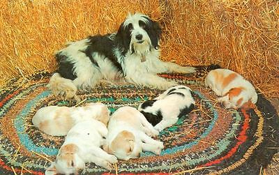 Old Postcard PC Bearded Collie Mama & 5 Mixed Breed Puppy Dogs 1964 Sleepy Heads