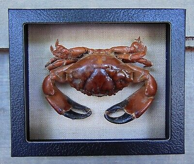 RC1) Real RUBBLE CRAB framed mounted Taxidermy Display shellfish Combd Shipping!