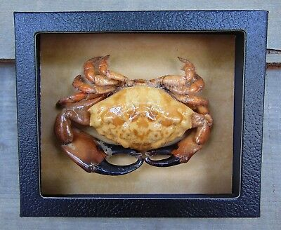 RC2) Real RUBBLE CRAB framed mounted Taxidermy Display shellfish Combd Shipping!