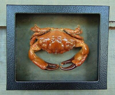 RC4) Real RUBBLE CRAB framed mounted Taxidermy Display shellfish Combd Shipping!