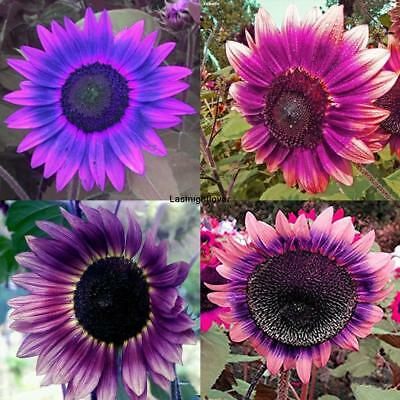 Sunflower- Summer Beauty Mix- 100 Seeds- BOGO Lowest price SALE