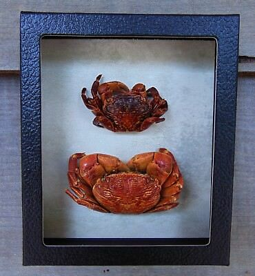 2 Real RED CRABS framed mounted Taxidermy Display shellfish Combined Shipping!