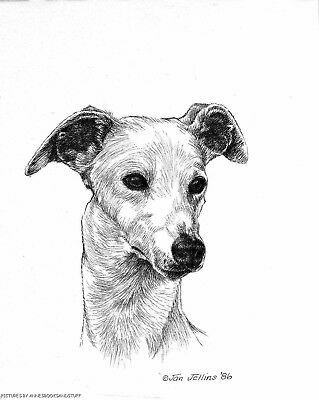 # 375 WHIPPET  portrait dog art print * Pen and ink drawing * Jan Jellins
