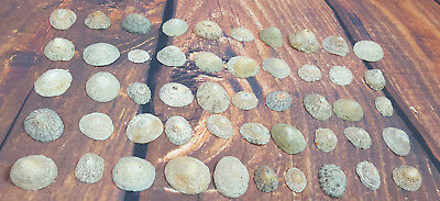 50 Assorted sized Limpet Shells Ideal For Crafts Hand Picked Eco Friendly