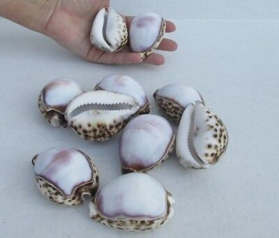 "10 piece lot of White top tiger cowrie shells 2"" to 3""(S)"