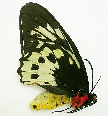Ornithoptera Aesacus Female From Obi Isl.