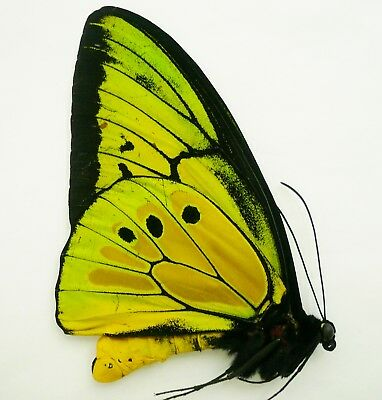 Ornithoptera Goliath Procus Male From Ceram Isl.