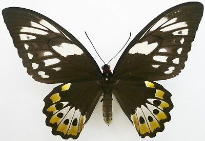Ornithoptera Priamus Macalpinei Female From North Queensland, Australia