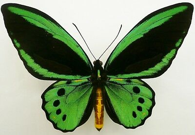Ornithoptera Priamus Macalpinei Male From North Queensland, Australia