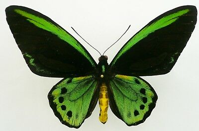 Ornithoptera Priamus Richmondia Male From Byron Bay, Nsw, Australia