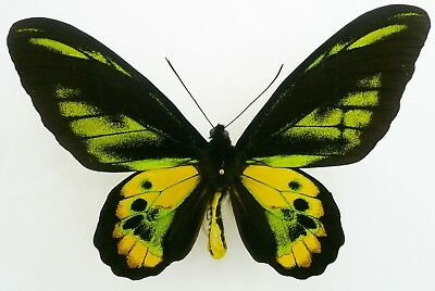 Ornithoptera Rothschildi Male Aberration From Arfak, Irian Jaya