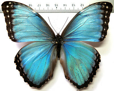 Morpho helenor ssp male *Costa Rica*