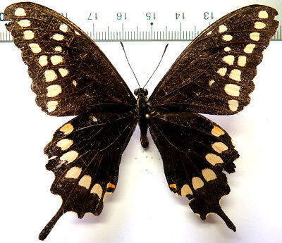 Papilio aristor male *Dom. Rep.*