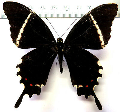 Papilio pelaus imerius male *Dom Rep* SUPERB