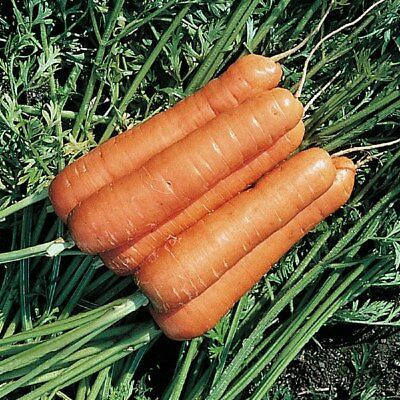 Vegetable  Carrot Resistafly F1   400 Seeds   Certified Organic