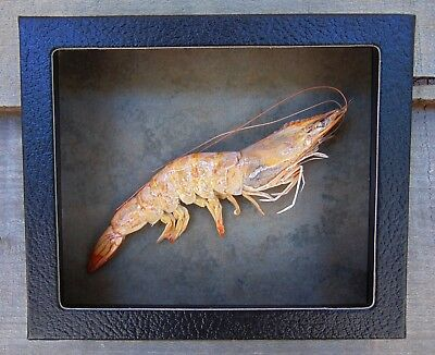 P2) Real PRAWN SHRIMP 5X6 framed mount Taxidermy Display shellfish crab Sea