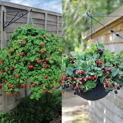 Hanging Basket Berry Fruit Garden Plants 2 x 9cm Potted Hardy Shrub T&M