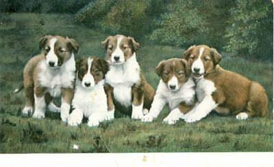Rare Vintage Dog Postcard 5 Border Collie Puppies Germany c1908