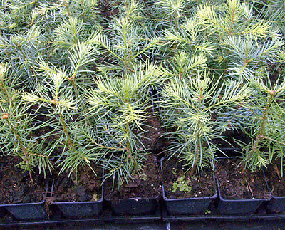 1 x Coloradotanne - Abies concolor im Topf - Container 10-15 cm