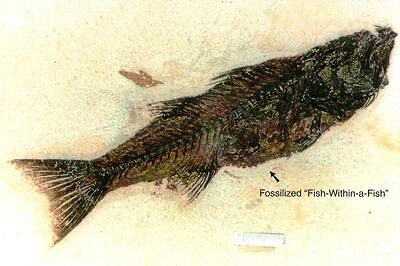 """stolen """"Fish within a fish"""" Ulrich's Fossil Gallery KEMMERER Wy MODERN Postcard"""