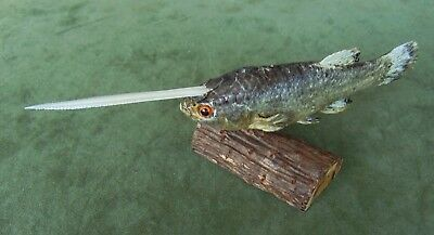 Sideshow Gaff UNICORN FISH Oddity Prop Fantasy Taxidermy mount mounted on base