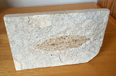 Leaf Fossil Embedded In Stone Plate
