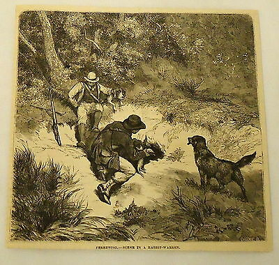 1881 magazine engraving ~ FERRETING ~ hunters use ferrets to catch rabbits