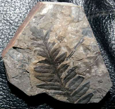 Very well preserved fossil Carboniferous fossil fern, Mariopteris muricata