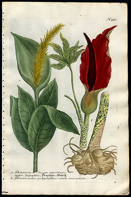 1736 Weinmann Copper Plate Engraving Superb Hand Coloring The Hollyhock