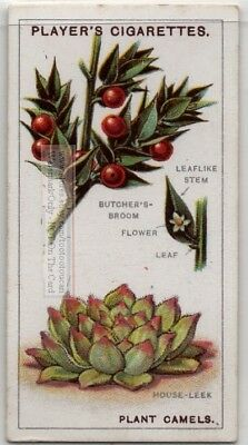 Butcher's Broom and House Leek Medical Plants Drugs 90+ Y/O Trade Ad Card