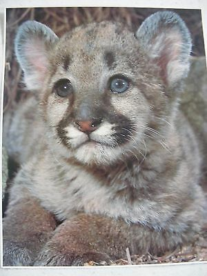 1980 Impact Photography Print No. 1141 Cougar Cub Photo By Breck Kent 16 X 20