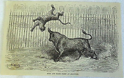 1878 magazine engraving ~ BULL & TIGER FIGHT AT ARANJUEZ