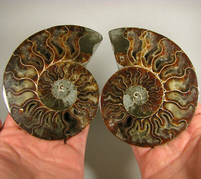 """4.8"""" AMMONITE FOSSIL Split Polished Pair w/ Calcite Chambers - Madagascar"""